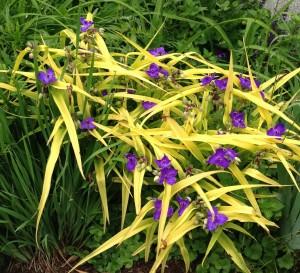 image of spiderwort