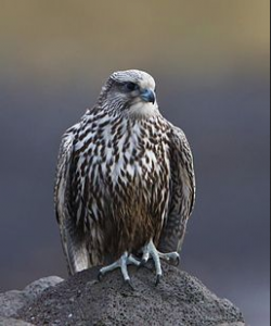 By Ómar Runólfsson (Flickr: Gyr falcon - Falco rusticolus - Fálki) [CC BY 2.0 (http://creativecommons.org/licenses/by/2.0)], via Wikimedia Commons