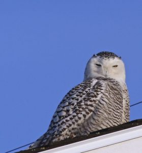 Photo by Chris L'Abbe Snowy Owl in southern Maine