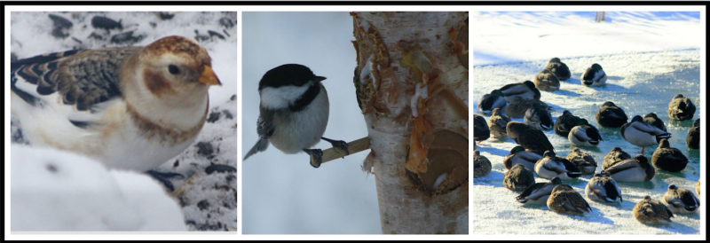Snow Bunting, Black-capped Chickadee, Mallards