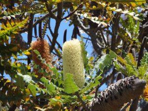 Australian Bottlebrush plant—UC Santa Cruz Arboretum