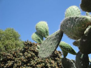 Prickly pear cactus-Mission San Juan Bautista, CA