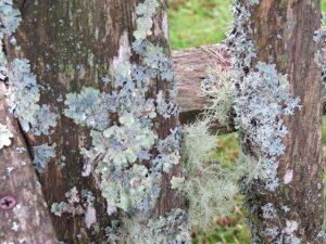 Lichen--Matinicus Island
